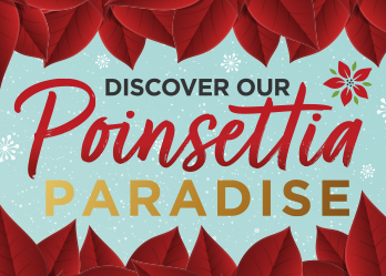 Festival Place transforms into a Poinsettia Paradise
