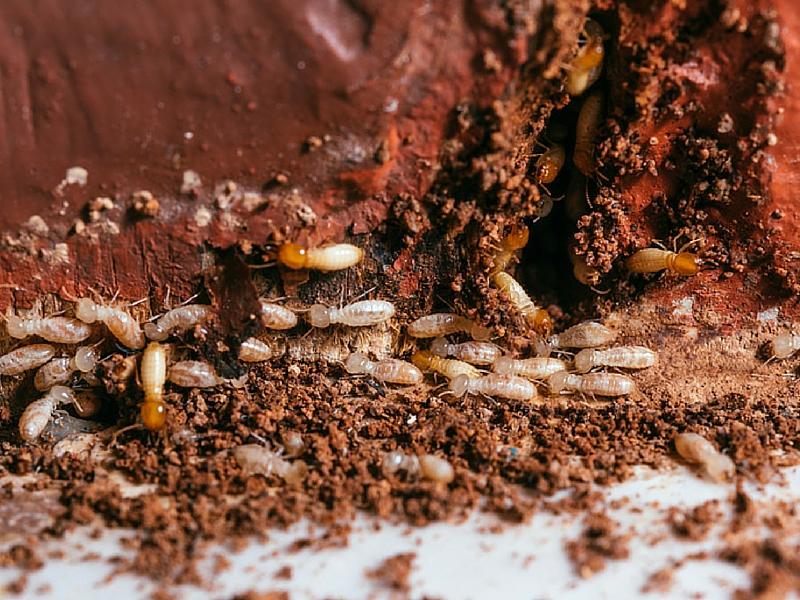 traitement anti termites