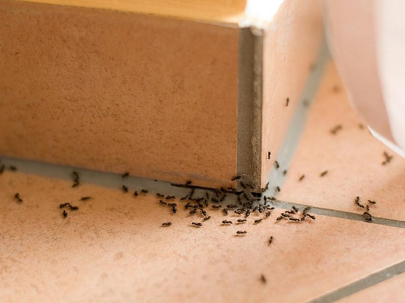 Photo d'une invasion de fourmis dans une maison - désinsectisation avec radical traitement en Martinique