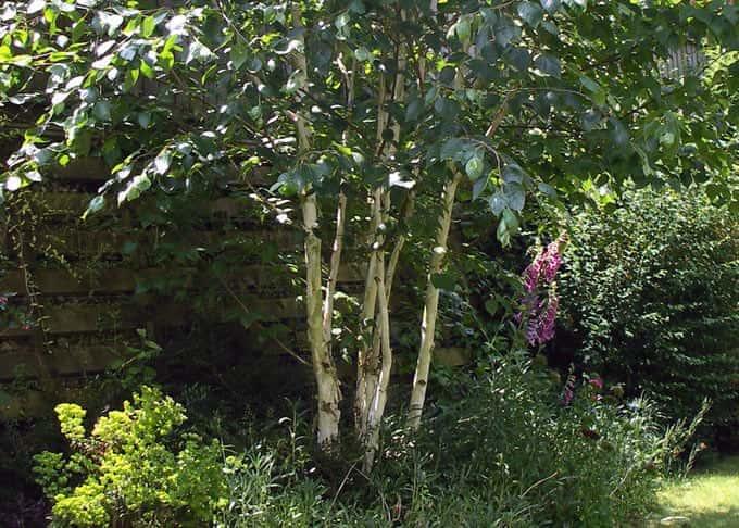 A striking multistem Birch tree