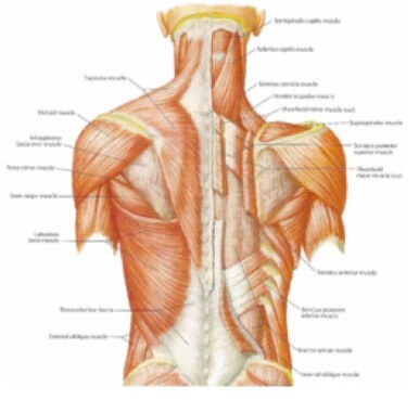 Neck and Back muscle joints