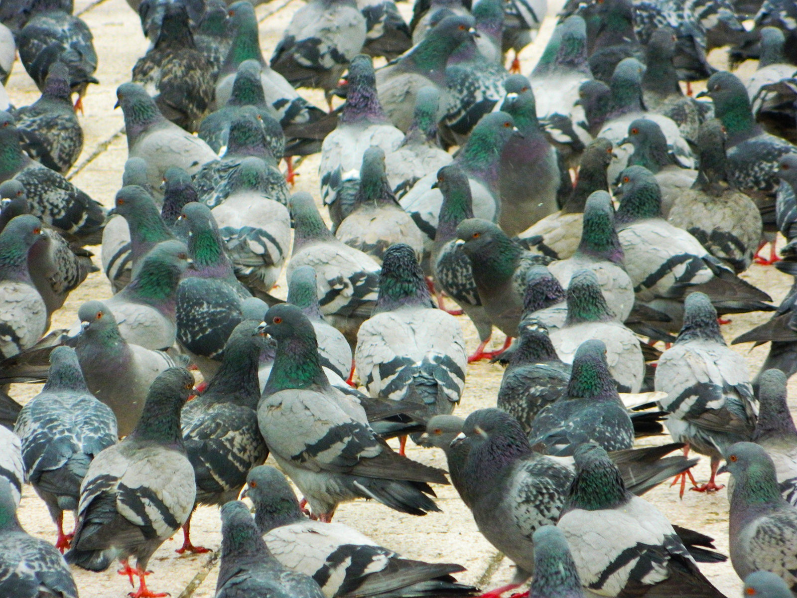 pigeon control spikes