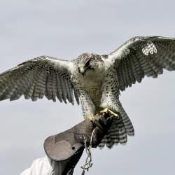 hawking as bird deterrent