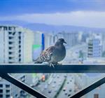 Picture of Town and City Bird Control