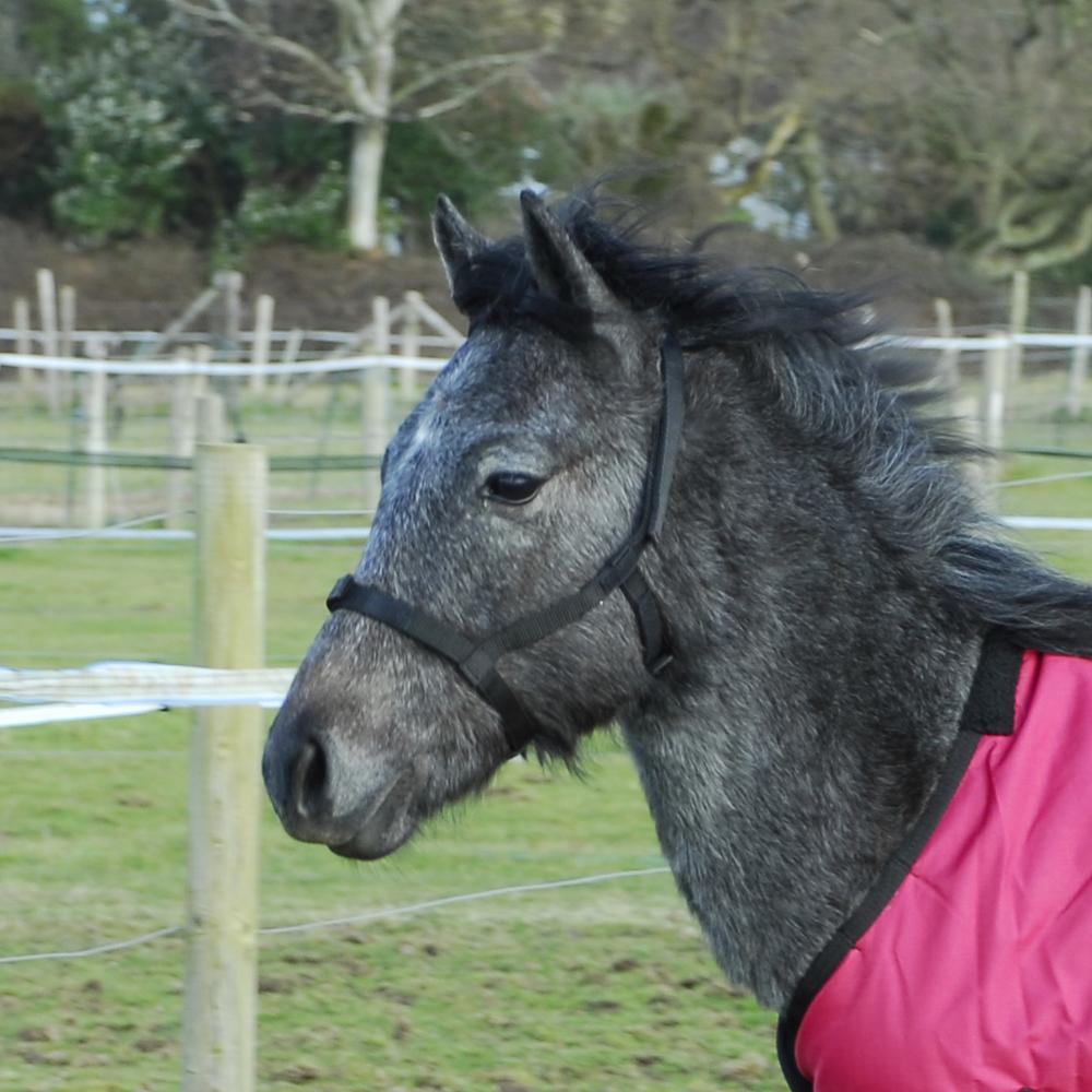 Field Safe Foal Headcollar