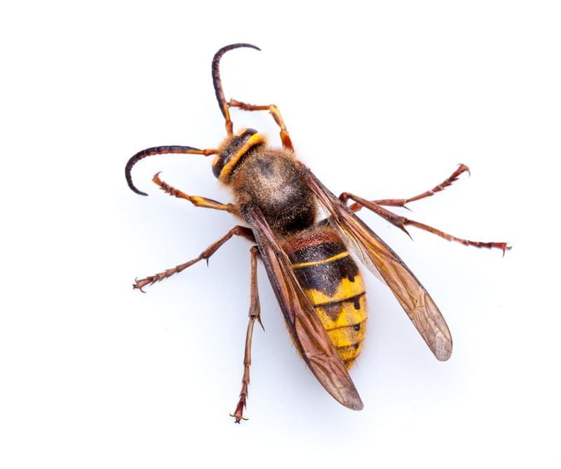 Hornet Removal Solution