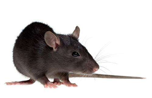 Rats & Mice Removal