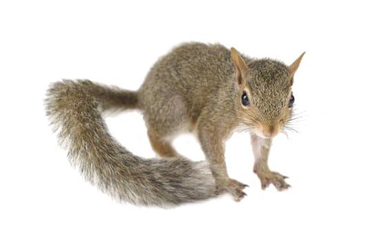 Grey Squirrels Removal