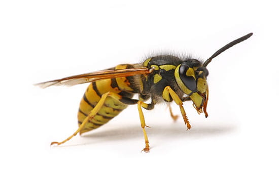 Wasp Removal Solution