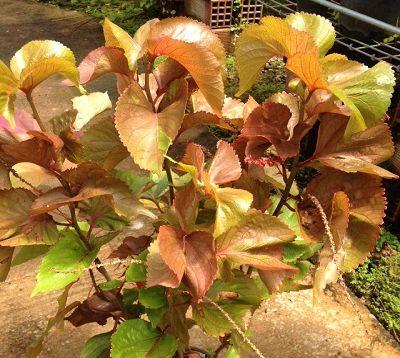 Acalypha wilkesiana  - Acalypha chiffon