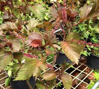 Acalypha wilkesiana  - Acalypha feuilles frangées