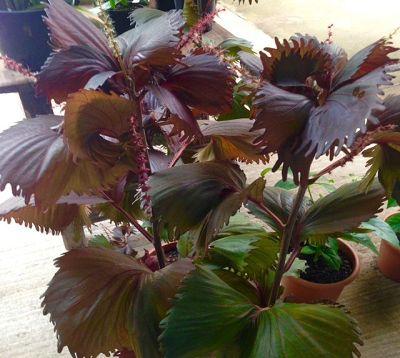 Acalypha wilkesiana  - Acalypha rouge feuilles frangées