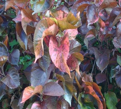 Acalypha wilkesiana  - Acalypha rouge