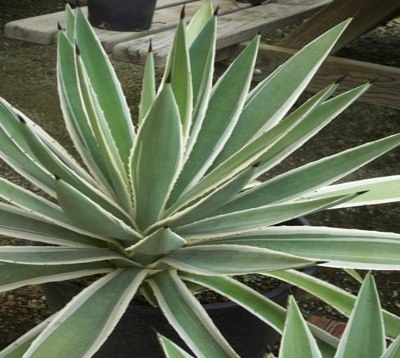 Agave angustifolia - Agave Panachée verte et blanche