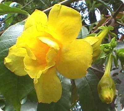 Allamanda cathartica - Allamanda jaune fleur double