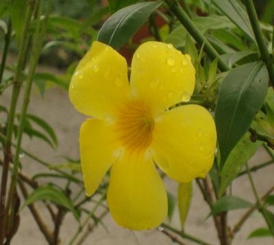 Allamanda cathartica - Allamanda jaune petite fleur