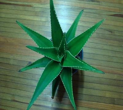 Aloe mitriformis - Aloe mitriformis