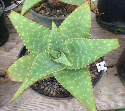 Aloe saponaria latifolia - Aloes zébré