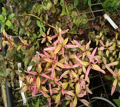 Alternanthera bettzichiana rubra - Althernantera Rouge