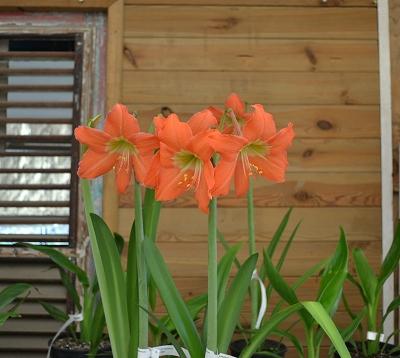 Hippeastrum spp - Amaryllis orange