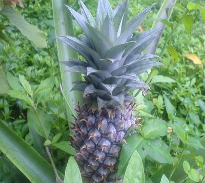 Ananas comosus - Ananas comestible
