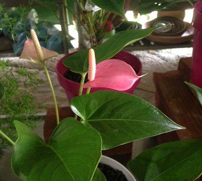 Anthurium andraenum - Anthurium hybride nain rose