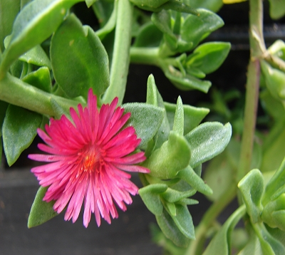 Apetnia cordifolia - Aptenia cordifolia