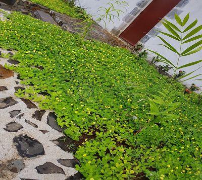 Arachis pintoï - Arachide de Pinto