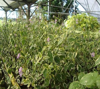 Asystasia gangetica - Asystasia - Herbe le rail