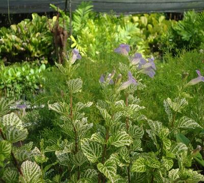 Asystasia gangetica violacea - Asystasia gauffrée panachée