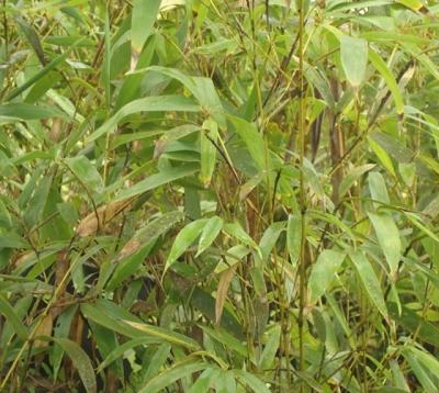 Bambusa multiplex - Bambou de haie