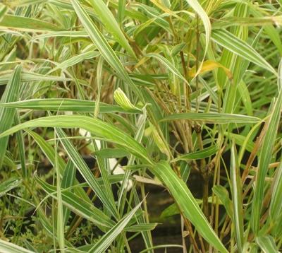 Bambusa variegata - Bambou  panaché