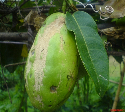 Passiflora quadrangularis - Barbadine