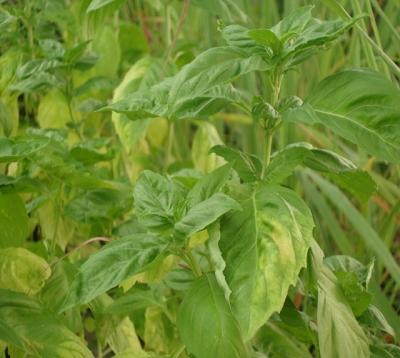 Ocimum basilicum spp - Basilic Grandes Feuilles