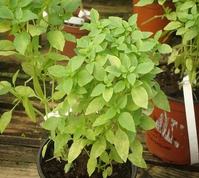 Ocimum basilicum minimum - Basilic petites feuilles