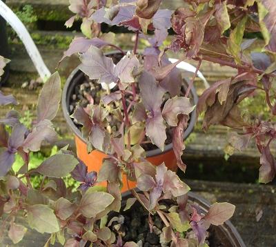 Ocimum basilicum purpurescens - Basilic pourpre