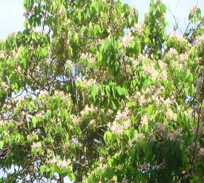 Bauhinia variegata rosea - Bauhinia rose