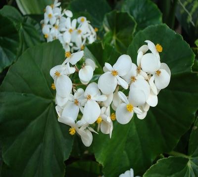 Begonia nitida - Begonia blanc