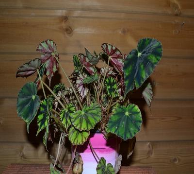 Begonia china doll- Begonia china doll