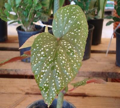 Begonia maculata - Begonia maculata