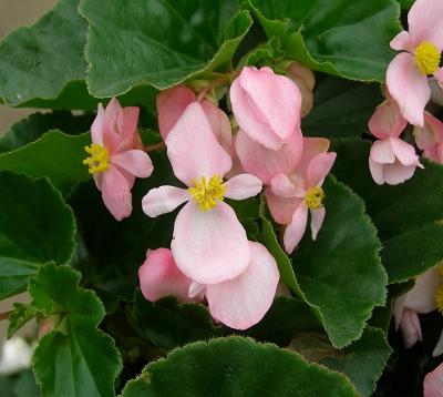 Begonia nitida - Begonia rose