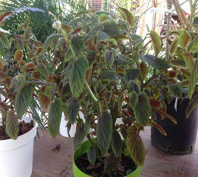 Begonia ulmifolia - Begonia ulmifolia