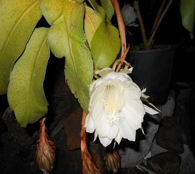 Epiphyllum phyllanthus - Berceau de Moise