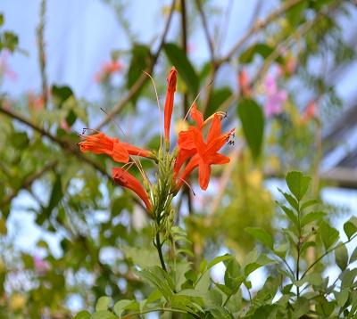 Tecomaria capensis - Bignone orange