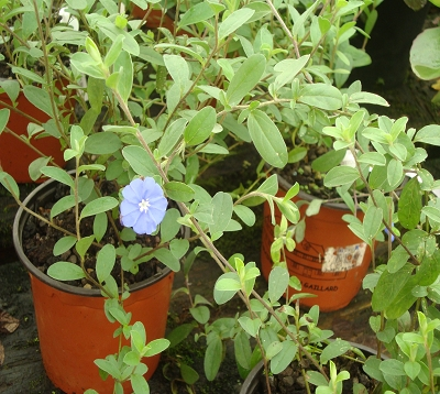 Evolvulus glomeratus - Bleuet