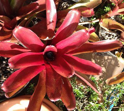 Bromeliacae - Broméliacée rouge