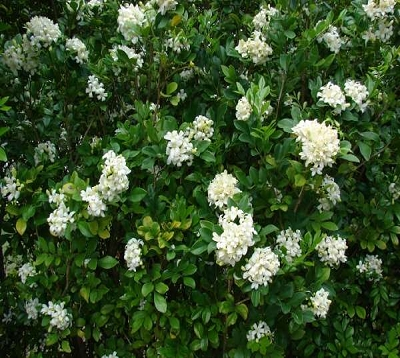 Murraya paniculata - Buis de Chine