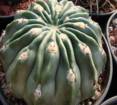 Echinocactus texensis - Cactus boule