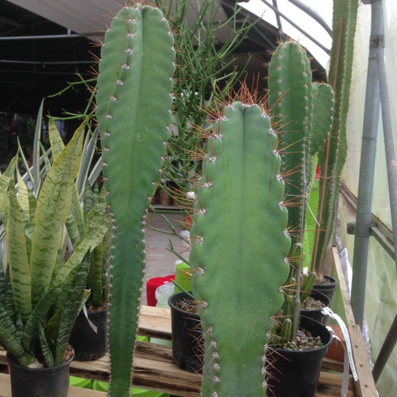 Cereus peruviAnus - Cactus cierge du Pérou