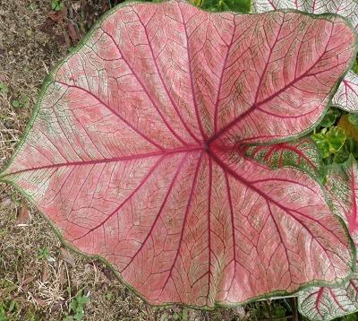 Caladium X hortulanum - Caladium rose